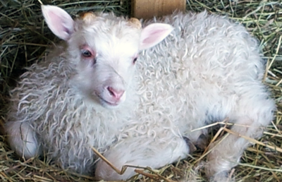 halter-icelandic-sheep-spring-lambs