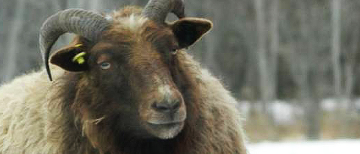 Icelandic Sheep are Intelligent and Alert