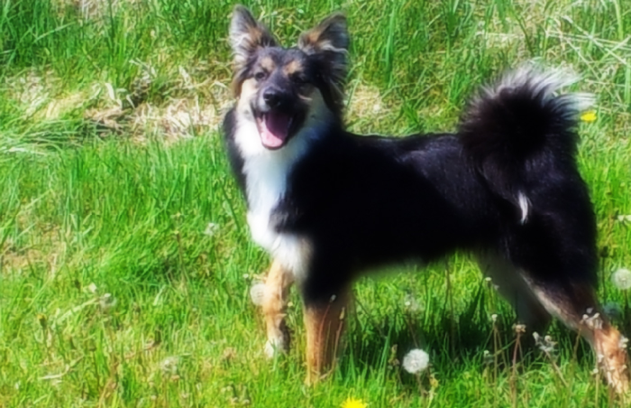 Icelandic Sheepdog Black Pup