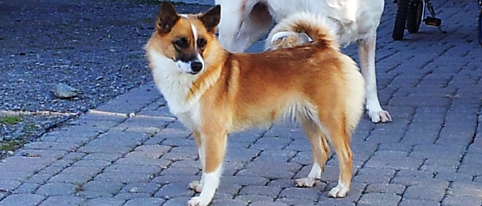 Icelandic Sheepdog Is A Great Family Pet