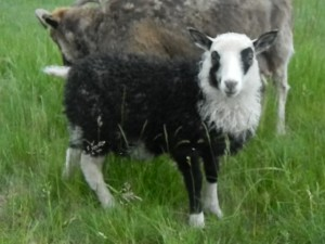 Icelandic Lambs for Sale