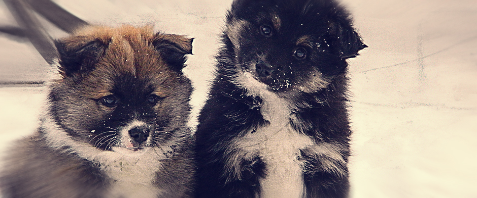 icelandic-sheepdog-pups